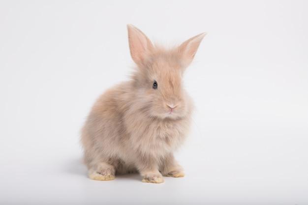 La imagen de un lindo pequeño conejo marrón sobre un fondo blanco.