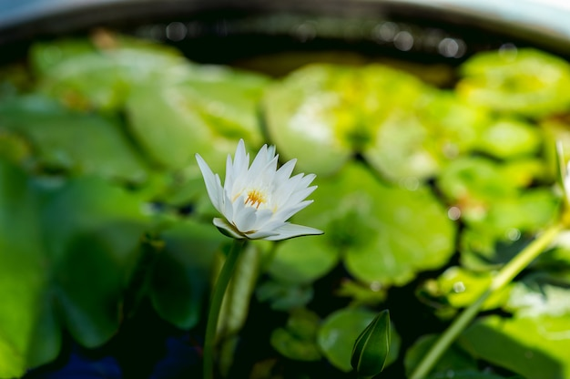 La imagen de loto que se produce naturalmente en el agua. concepto de vista de lotus con espacio de copia