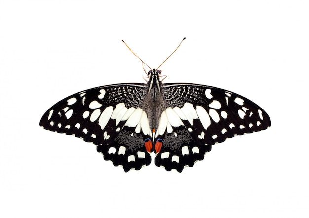 Imagen de mariposa de cal (papilio demoleus) aislado sobre fondo blanco.