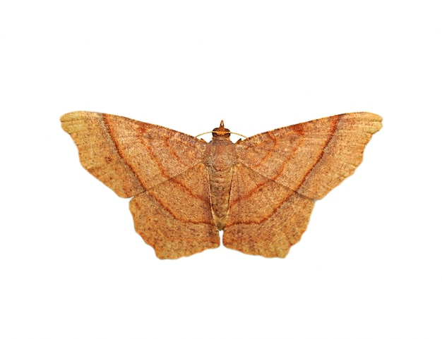 Imagen de mariposa marrón (polilla) aislado sobre fondo blanco.