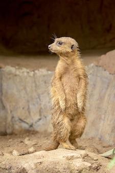 Imagen de meerkat de pie (suricata suricatta) en la naturaleza. fauna animales.
