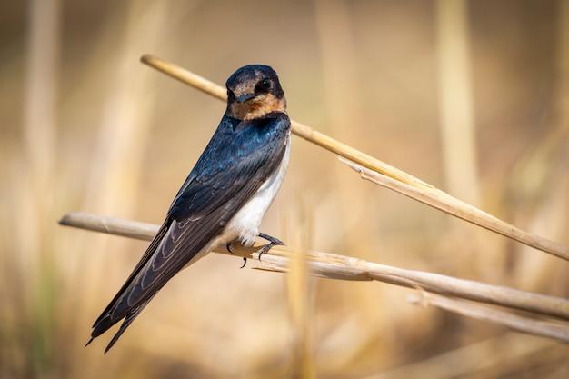 Imagen del pájaro de la golondrina de granero (hirundo rustica). pájaro. animal.
