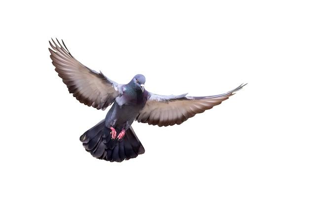 Imagen de paloma volando aislado sobre fondo blanco., pájaro, animales.
