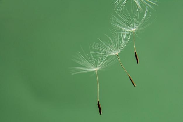 Imagen panorámica de un primer plano de semillas de diente de león sobre un fondo verde