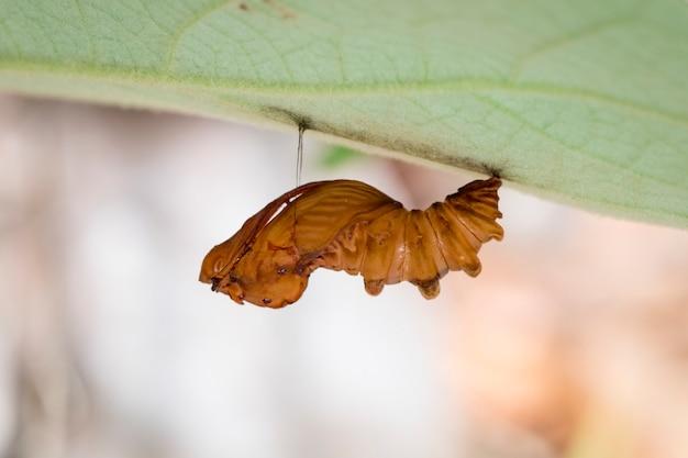 Imagen de la pupa troides amphyrysus ruficollis. insecto animal