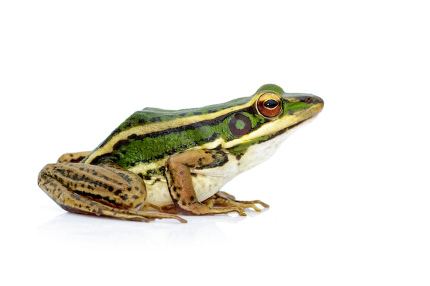 Imagen de la rana verde del campo de arroz o green paddy frog (rana erythraea). anfibio. animal.