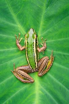 Imagen de la rana verde del campo de arroz o green paddy frog (rana erythraea) en la hoja verde. anfibio. animal.