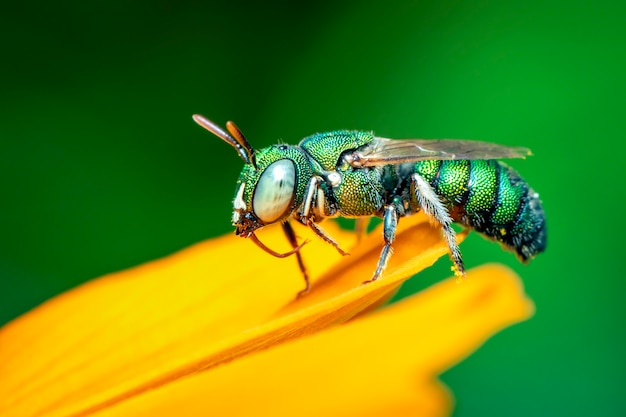Imagen de smaratdula ceratina (pitis) en flor amarilla