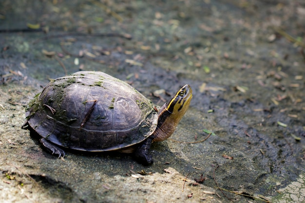 Imagen de la tortuga de cabeza amarilla del templo en la naturaleza. reptil. animales