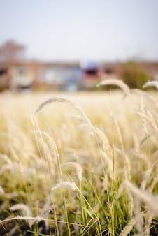 Imperata cylindrica beauv de feather hierba en la naturaleza