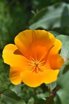 Impresionante cerca de una flor de amapola de california naranja