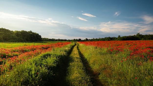 Impresionante vista de un campo verde cubierto de amapolas