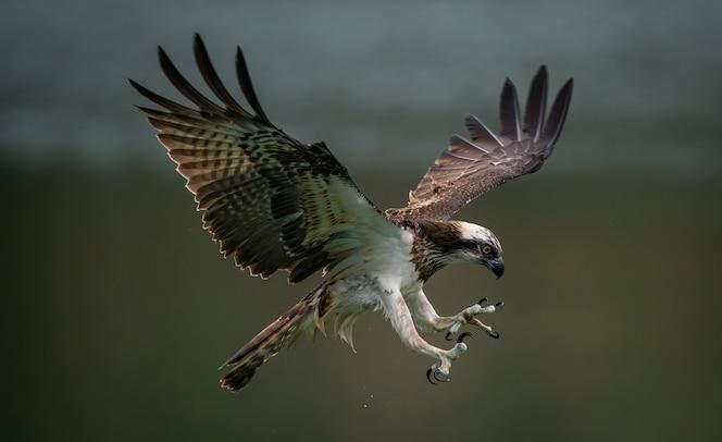Increíble águila pescadora o halcón marino tratando de cazar