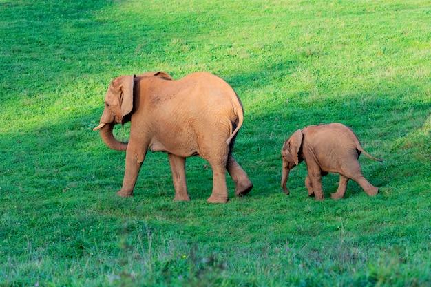 Increíble familia de elefantes. mamá, papá y el hijo