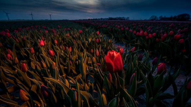 Increíble foto de campo de tulipanes rojos en una hermosa puesta de sol