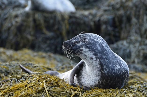 Increíble perfil de una foca de puerto en un montón de algas