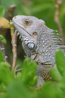 Increíble perfil de una iguana gris sentada en lo alto de un arbusto.
