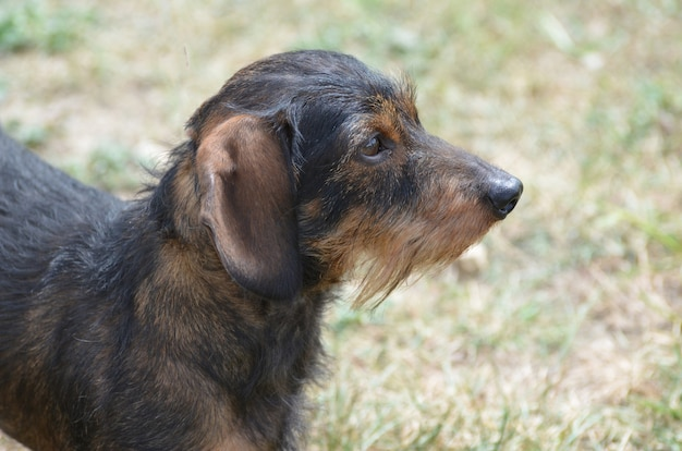 Increíble perfil de un lindo perro salchicha de pelo de alambre.