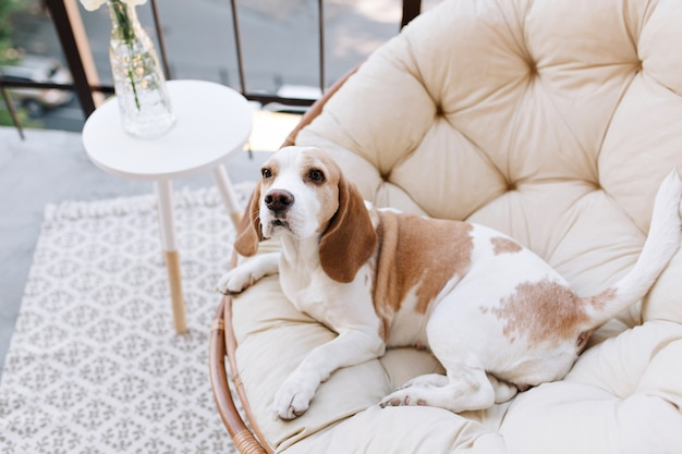 Increíble perro beagle descansando después de juegos activos en el balcón en verano