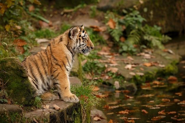 Increíble tigre de bengala en la naturaleza.