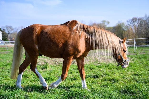 Increíble vista de un hermoso caballo marrón caminando sobre el césped