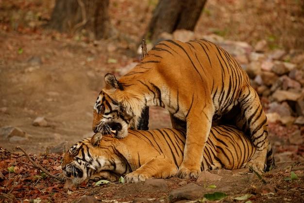 Increíbles tigres de bengala en la naturaleza.