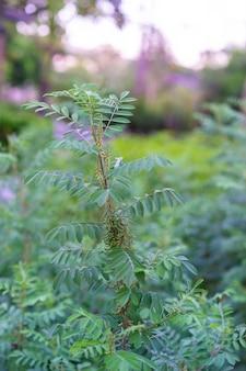 Indigofera tinctoria en el jardín. flores de ramo se utilizan para hacer tintes.