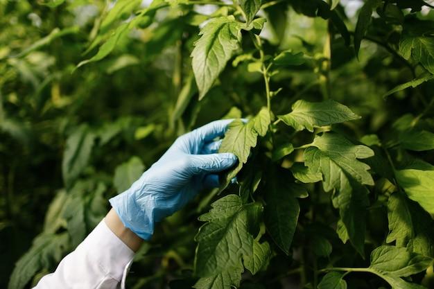 Ingeniero de biotecnología mujer examinando la hoja de la planta en busca de enfermedades