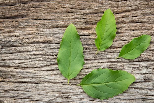Ingrediente a base de hierbas de hoja de albahaca santa para uso en estilo de vida saludable