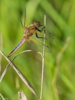 Insecto de alas netas sentado en una rama de hierba