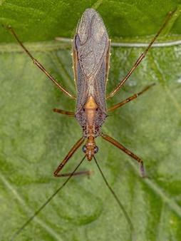 Insecto asesino adulto del género repipta