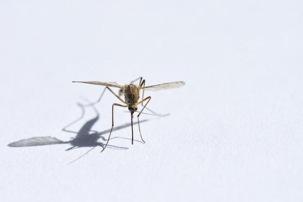Insecto bebiendo sangre, mosquito.