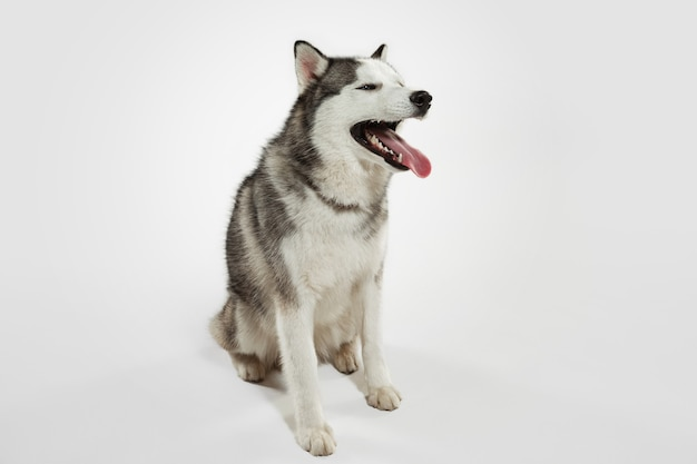 Interesado. perro de compañía husky está planteando. lindo perrito gris blanco juguetón o mascota jugando sobre fondo blanco de estudio. concepto de movimiento, acción, movimiento, amor de mascotas. parece feliz, encantado, divertido.