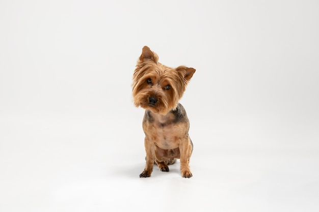 Interesado. perro yorkshire terrier está planteando. lindo perrito negro marrón juguetón o mascota jugando sobre fondo blanco de estudio. concepto de movimiento, acción, movimiento, amor de mascotas. parece feliz, encantado, divertido.