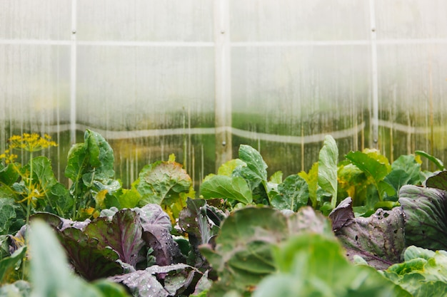 Invernadero y camas con verduras en el pueblo. copia espacio