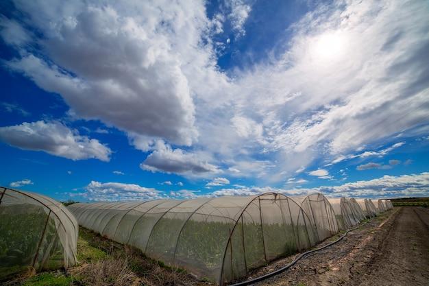 Invernadero con verduras de acelgas bajo cielo azul dramático