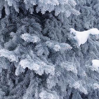 Invierno abeto conífero en escarcha y nieve