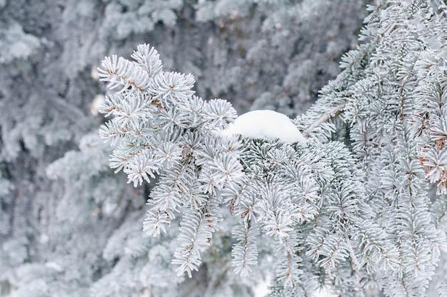 Invierno un árbol conífero en escarcha y nieve.