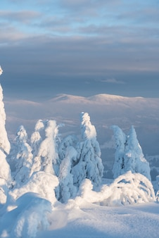 Invierno nevados abetos en las montañas en el cielo azul con sol