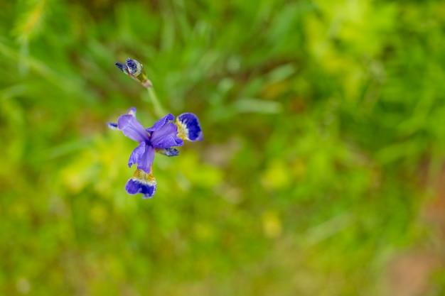 El iris violeta y azul florece el primer en fondo verde del jardín. día soleado. grandes flores cultivadas de iris barbudo. las flores de iris azul y blanco están creciendo en el jardín.
