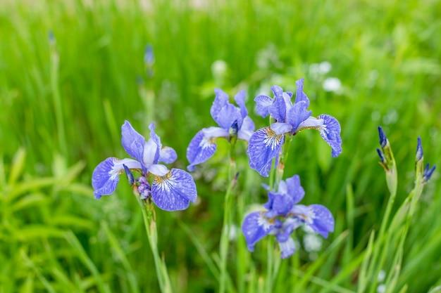 El iris violeta y azul florece el primer en fondo verde del jardín. día soleado. iris en flor colorida flor en grupos y uno a la vez en los rayos del sol poniente al aire libre en verano