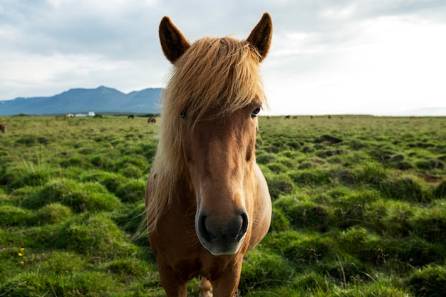 Islandia paisaje de hermoso semental
