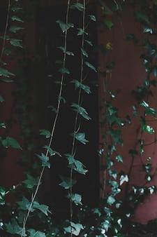 Ivy en las paredes de la casa