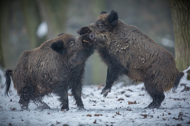 Jabalí en el hábitat natural animal peligroso en el bosque república checa naturaleza sus scrofa