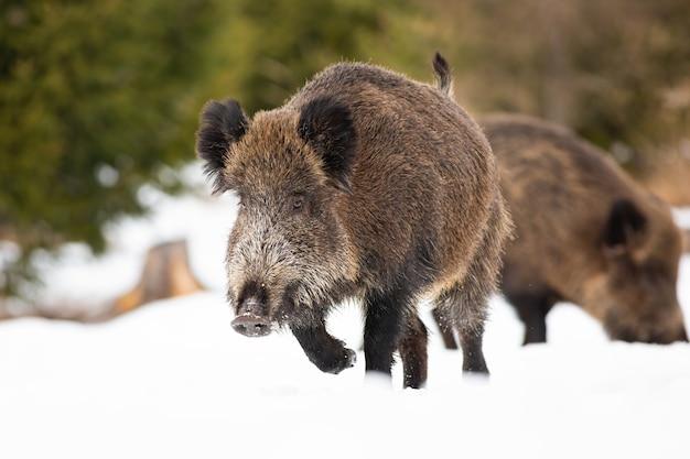 Jabalí, sus scrofa, corriendo sobre la nieve en la naturaleza de invierno