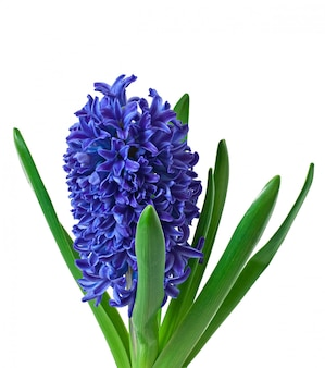 Jacinto azul aislado
