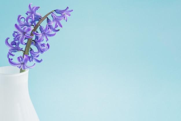 Jacinto floreciente hermoso en el florero de cristal blanco en fondo azul. ramo de primavera para decoración de interiores.