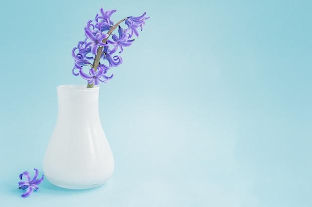 Jacinto floreciente hermoso en florero de cristal blanco sobre fondo azul con espacio de copia. ramo de primavera para decoración de interiores.
