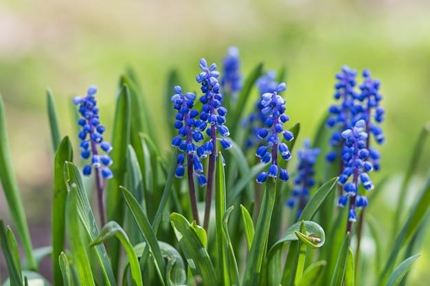 Jacinto floreciente en el jardín botánico