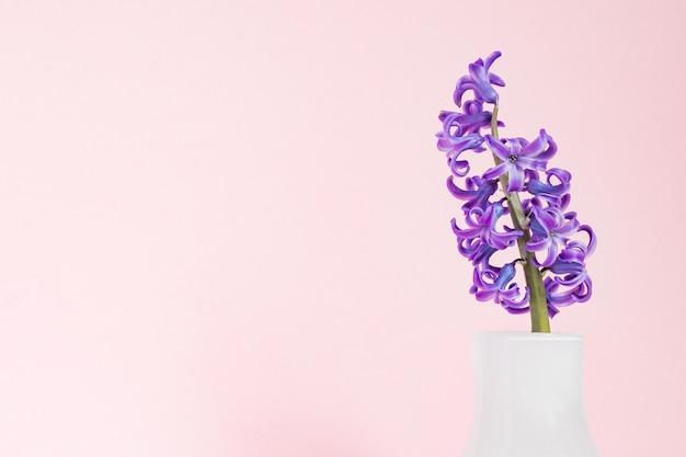 Jacinto floreciente púrpura hermoso en el florero de cristal blanco en fondo rosado. ramo de primavera para decoración de interiores.